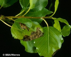 populus-pollaccia-elegans1-g